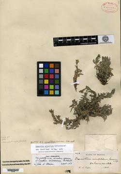 Image of Cerastium vulcanicum