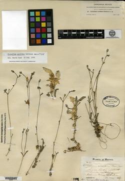Image of Cerastium sordidum