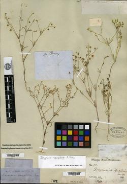 Drymaria molluginea image