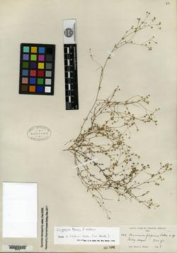 Image of Stellaria filiformis