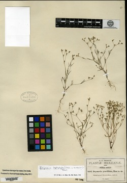 Drymaria leptophylla var. nodosa image