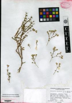 Image of Sabulina decumbens