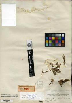 Paronychia andina image