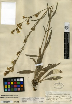 Image of Silene concolor