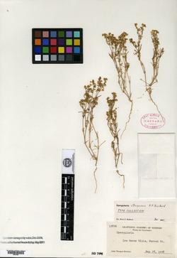 Image of Spergularia atrosperma