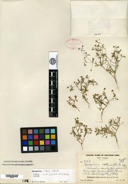 Spergularia platensis image