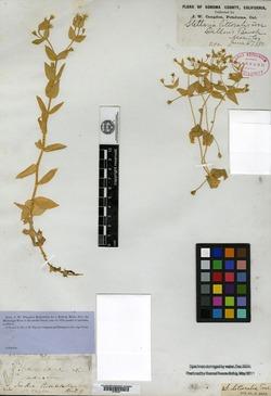 Image of Stellaria littoralis
