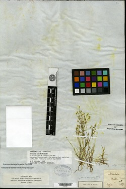 Sabulina macra image