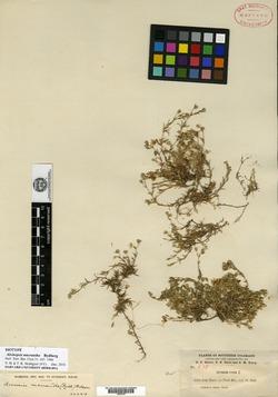 Image of Alsinopsis macrantha