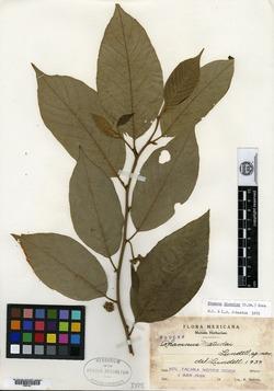 Image of Rhamnus matudai