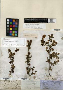 Image of Ceanothus decumbens