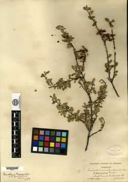 Image of Ceanothus connivens