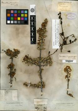 Image of Ceanothus macrocarpus