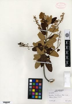 Image of Ceanothus caeruleus