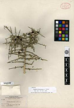 Image of Condalia divaricata