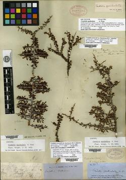 Condalia spathulata image