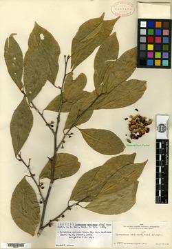 Colubrina spinosa var. mexicana image