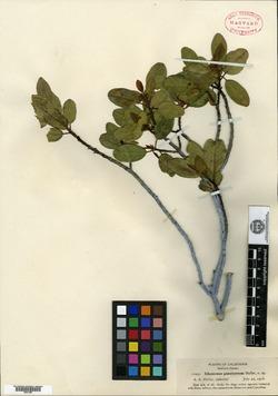 Image of Rhamnus pinetorum