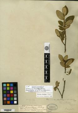 Image of Rhamnus dianthes