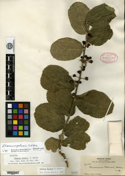 Image of Rhamnus palmeri