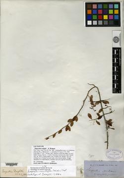 Sageretia wrightii image