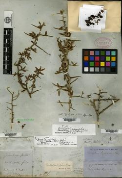 Image of Ziziphus lycioides