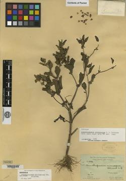 Acanthospermum microcarpum image