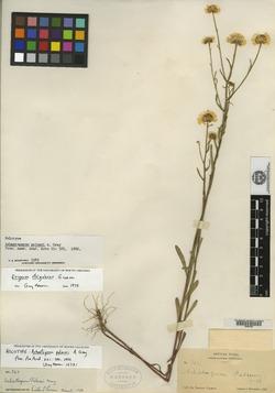 Image of Achaetogeron palmeri