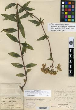Image of Ageratum paleaceum