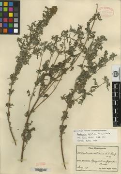 Image of Ambrosia velutina