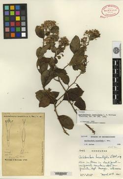 Image of Archibaccharis lucentifolia