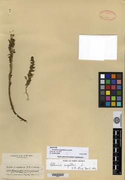 Artemisia magellanica image