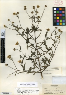 Image of Aspilia angustifolia