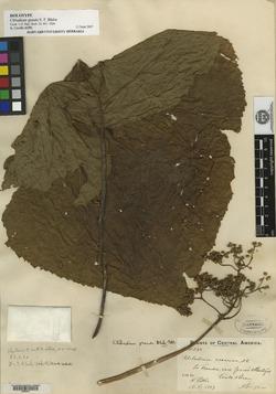 Clibadium grandifolium image