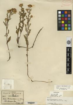 Image of Aster carnerosanus