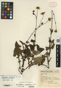 Image of Axiniphyllum sagittalobum