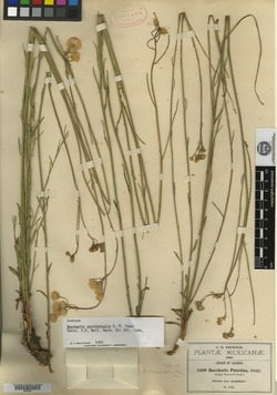 Image of Baccharis occidentalis