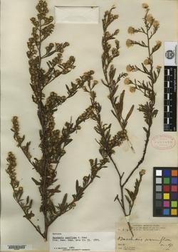 Image of Baccharis ramiflora