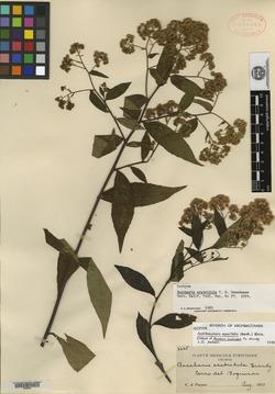 Image of Baccharis scabridula