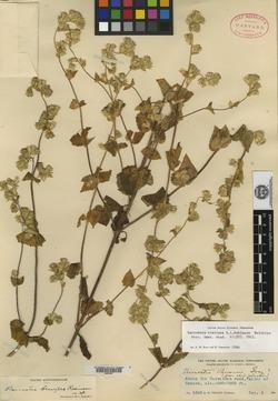Image of Brickellia laxiflora