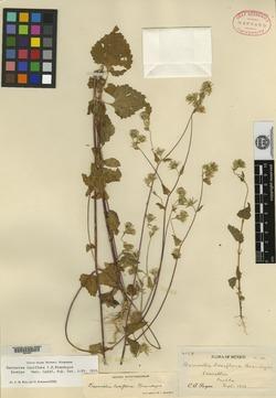 Image of Barroetea laxiflora