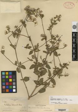 Image of Brickellia paniculata