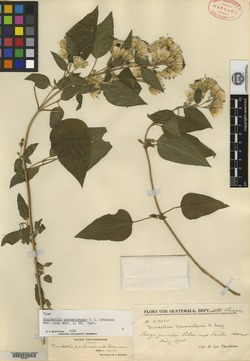 Image of Brickellia guatemalensis