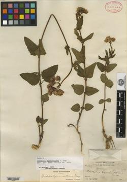 Image of Brickellia hymenochlaena