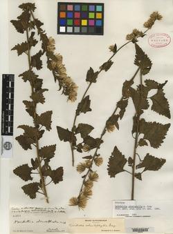 Image of Brickellia odontophylla