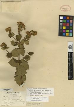 Image of Calea hypoleuca