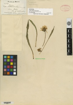 Crepis runcinata subsp. barberi image