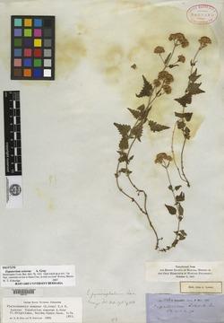 Fleischmannia sonorae image