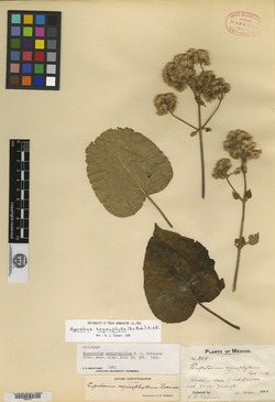 Image of Ageratina aegirophylla