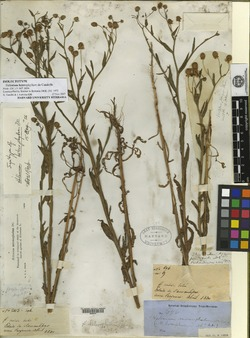 Image of Helenium radiatum